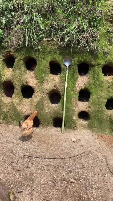 你们知道它是怎么进鸡洞的吗?🙃🙃