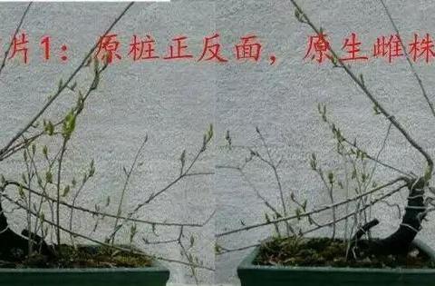 一个直杆老鸦柿改作成卧干悬崖盆景,你看改得怎么样
