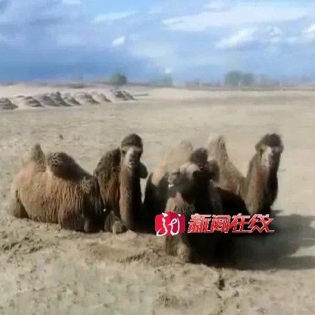 骆驼不在沙漠,却出现在大坝上!已经走了二十多公里……