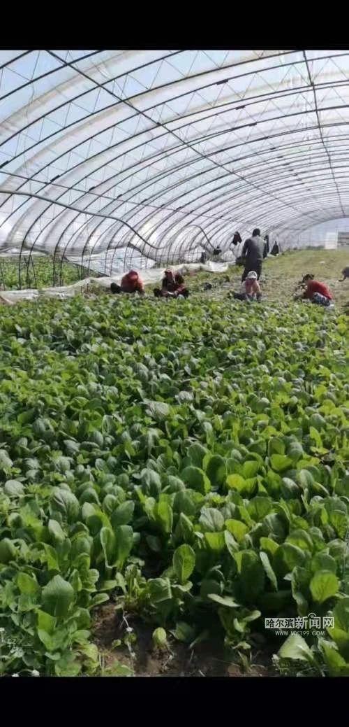 蔬菜供应 | 香坊区地产优质春菜走上百姓餐桌