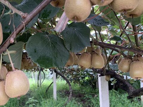 猕猴桃也有物候期,看准果实的膨大期,肥料使用要选好时期