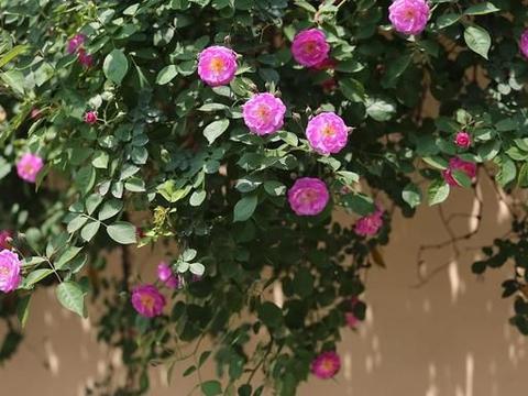 浅夏日长天朗清,姹紫嫣红木繁荫。青麦翻浪紫葚熟