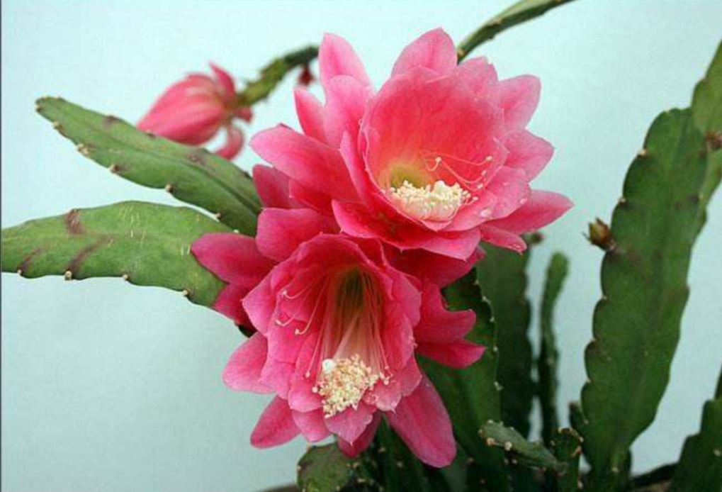 1种仙人掌科植物,开花又大又美,好像盛开的荷花!