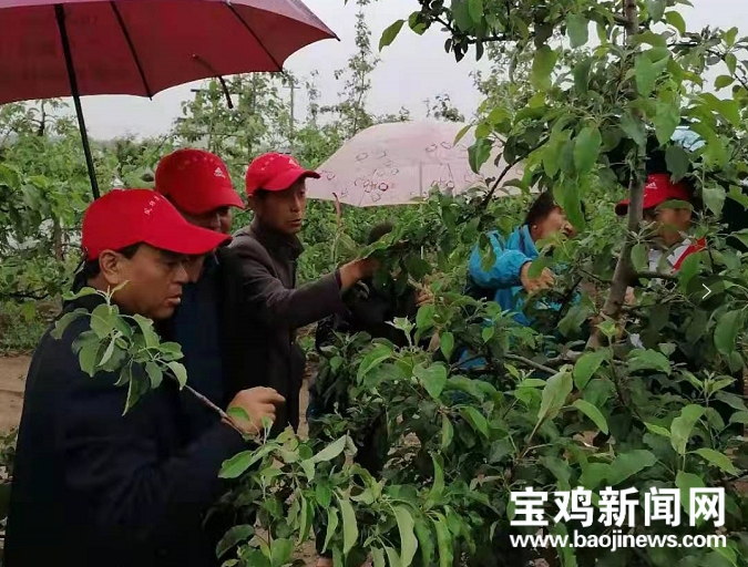 """宝鸡凤翔:""""小红帽""""服务队送技术解难题 果农群众乐开怀"""