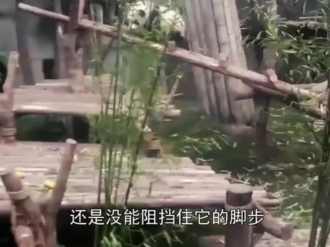 小熊猫宝宝的抱腿杀绝技,来一个就萌翻一个,国宝果然名不虚传