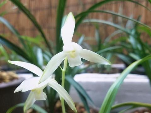 具有极高的意境兰花,花色洁白雅致,兰香持久,初学者也可以培养