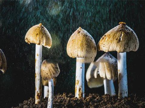 白蚁菇栽培技术,高产的栽培管理掌握好,你也是种植高手