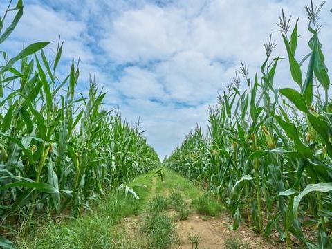 旱灾冲击巴西玉米产量 饲料成本挤压肉企利润