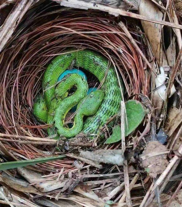 广东钓友野钓碰到蛇占鸟巢欲吃鸟蛋,钓鱼人:纠结要不要救