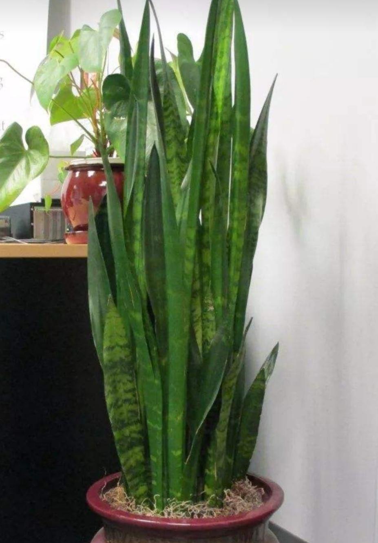 虎尾兰长势不良、叶子暗淡,给它补点这种肥,叶子浓绿有光泽!