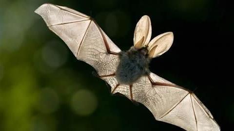 蝙蝠有翅膀,会飞,为什么我们却说蝙蝠不是鸟类而是哺乳类动物?