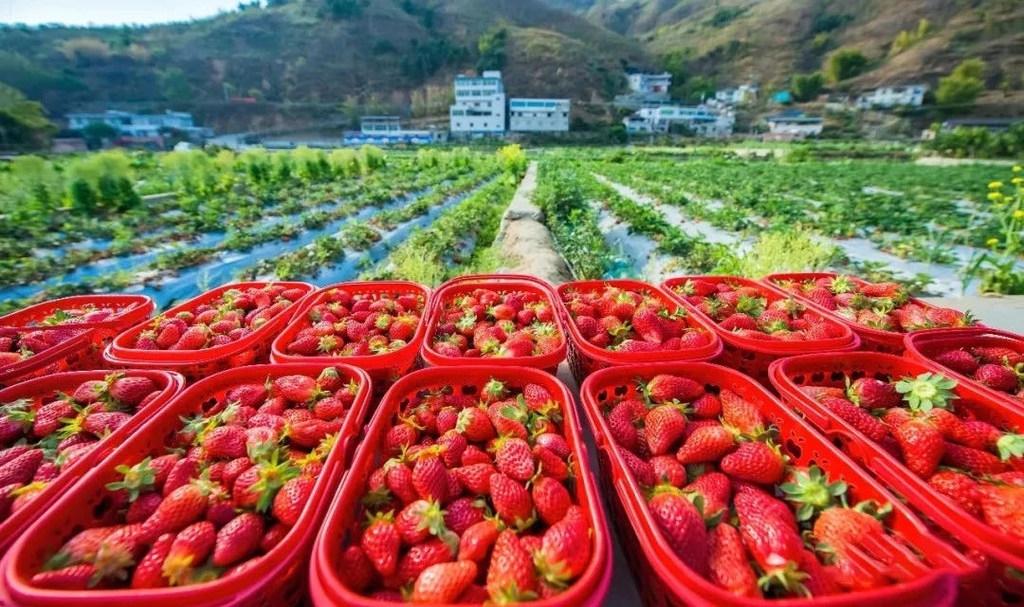 """擦亮""""攀果""""品牌,攀枝花巧借水果产业为乡村振兴加份甜蜜"""
