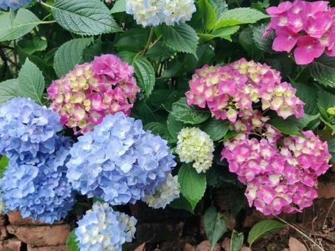 绣球花迎来花期,抓紧施肥,有了养分,开花更大,花量更多