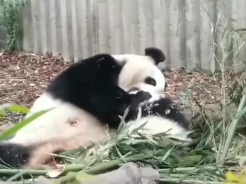 国宝熊猫: 哎呀,这是谁的宝宝呀,让我亲亲