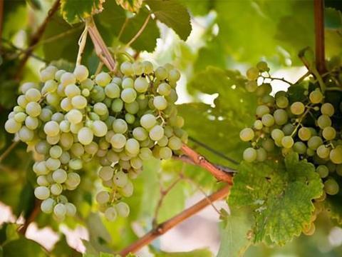 菲亚诺葡萄酒,科普最常见的100种葡萄酒佳酿之菲亚诺葡萄酒!