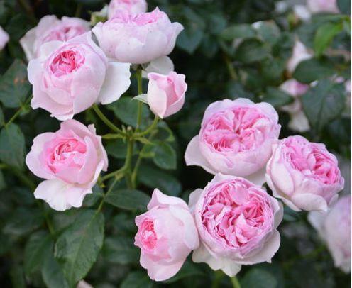 养花试试这几款,花朵清新高雅,阳台轻松变花海