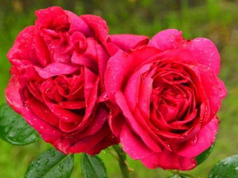 养花养个耐看的,花朵迷人,阵阵花香,花朵大!