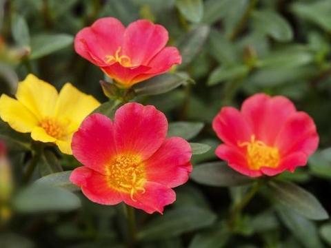 养花养个耐看的,花开媲美玫瑰,花朵姿态万千
