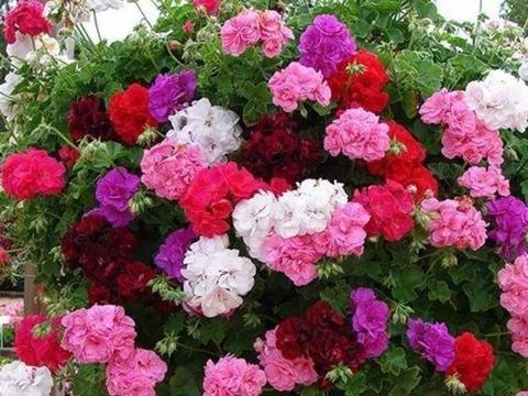 种花养家里,美成了花园,漂亮好养,开花硕大香味浓!