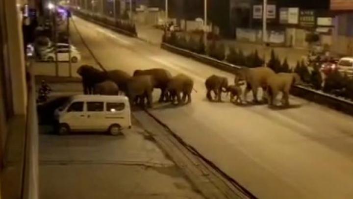 亚洲象群继续向北
