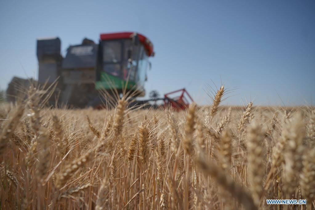 A harvester operates in a wheat field in Xingtai, north China's Hebei Province, June 6, 2021. (Xinhua/Luo Xuefeng)