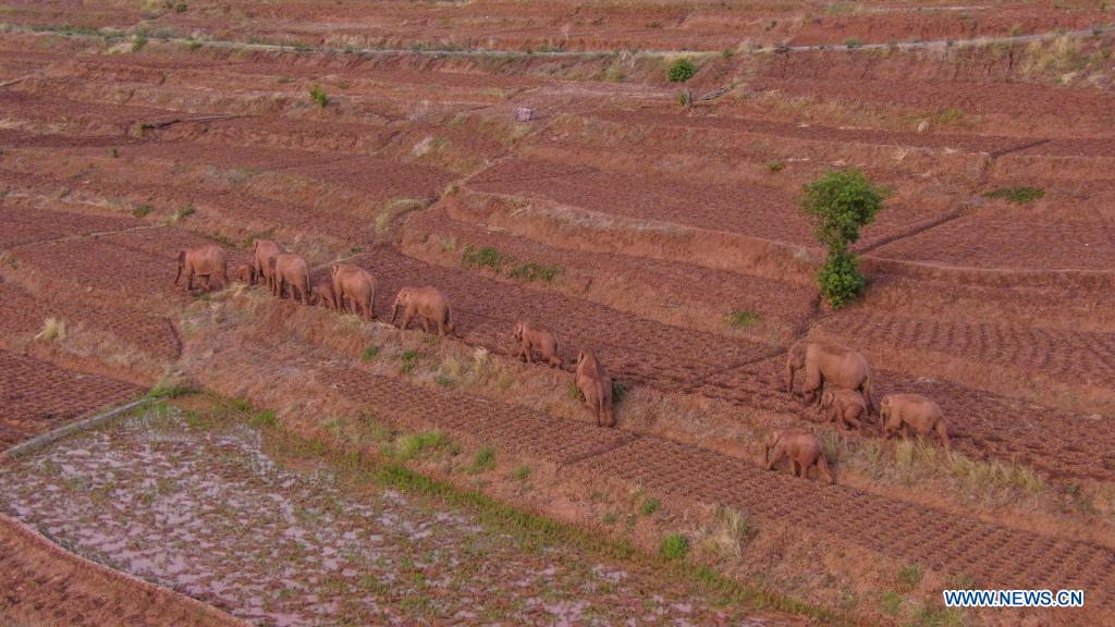 Aerial photo taken on June 6, 2021 shows wild Asian elephants in Jinning District of Kunming, southwest China's Yunnan Province. A herd of wild Asian elephants have made a temporary stop along their migration in the outskirts of the southwestern Chinese city of Kunming, authorities said Monday. Of the 15 elephants, one male has broken free from the herd and is currently about 4 km to the northeast of the group, according to the on-site command tracking the elephants. Asian elephants are under A-level state protection in China, where they are mostly found in Yunnan. Thanks to enhanced protection efforts, the wild elephant population in the province has grown to about 300, up from 193 in the 1980s. (Xinhua)