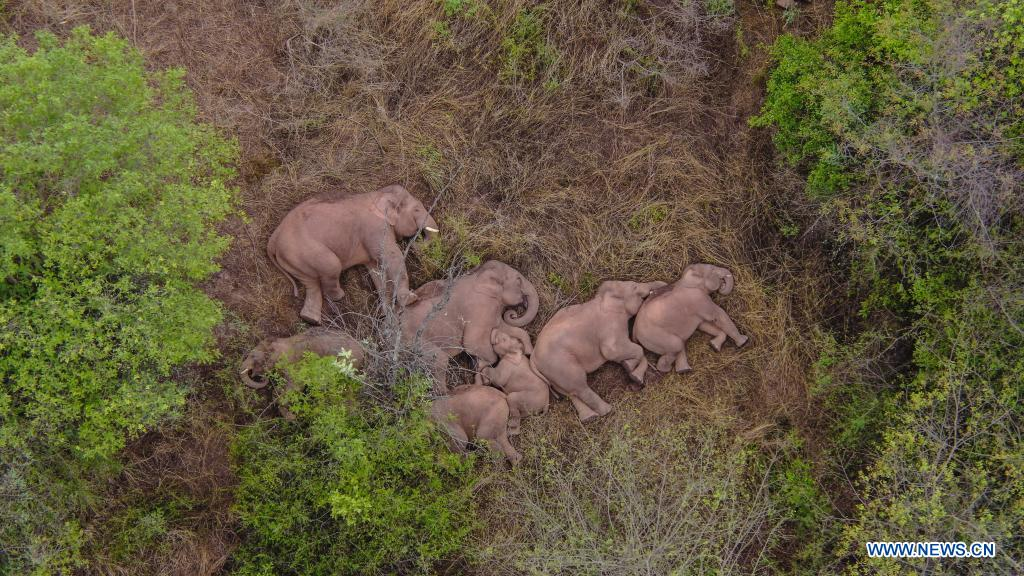 Aerial photo taken on June 7, 2021 shows wild Asian elephants in Jinning District of Kunming, southwest China's Yunnan Province. A herd of wild Asian elephants have made a temporary stop along their migration in the outskirts of the southwestern Chinese city of Kunming, authorities said Monday. Of the 15 elephants, one male has broken free from the herd and is currently about 4 km to the northeast of the group, according to the on-site command tracking the elephants. Asian elephants are under A-level state protection in China, where they are mostly found in Yunnan. Thanks to enhanced protection efforts, the wild elephant population in the province has grown to about 300, up from 193 in the 1980s. (Xinhua)
