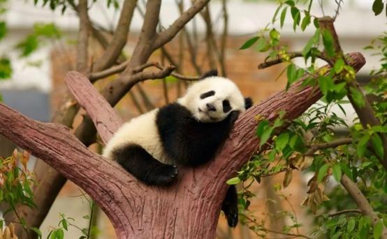 四川再次出现棕色大熊猫,皮毛已全部换色,为什么会这样?