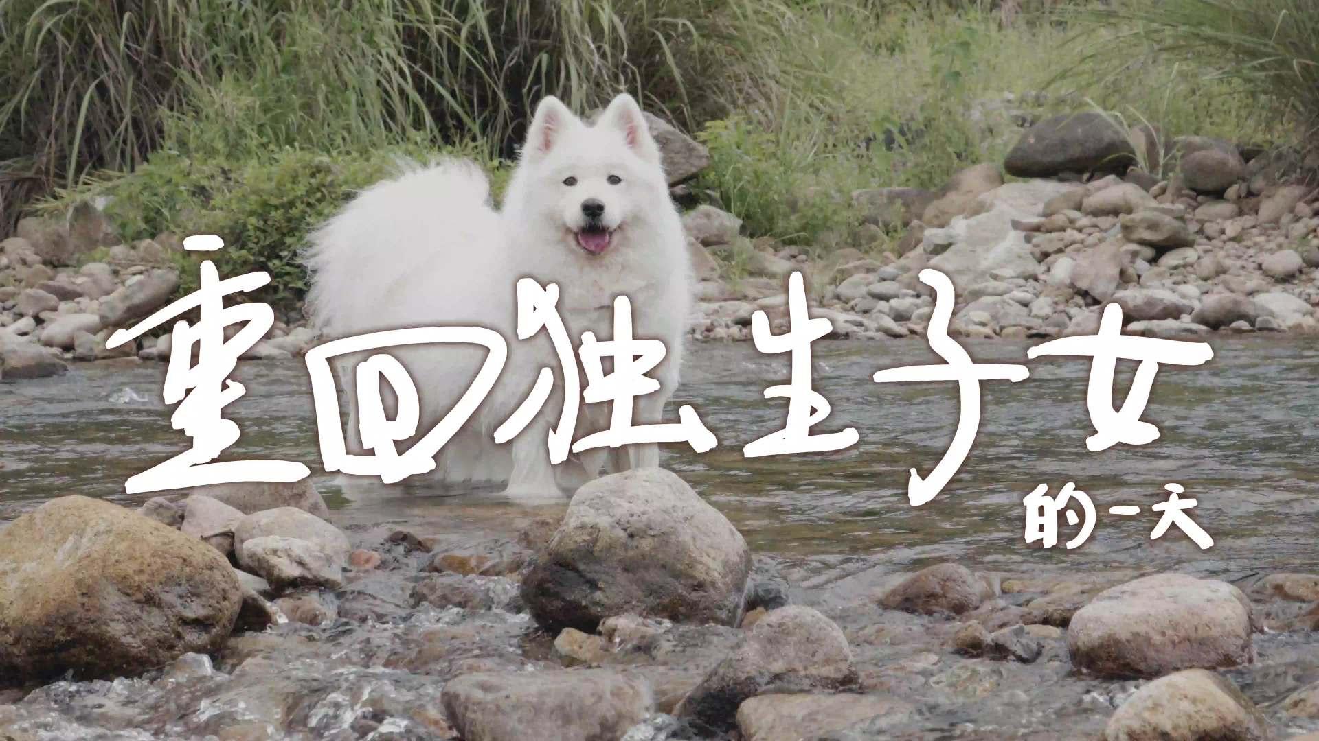 萨摩耶软糖当一日独生子女狗,游泳洗澡吃奶油,太开心了吧?
