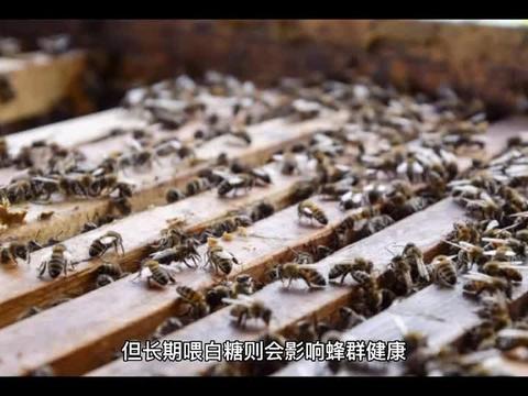 中蜂大量喂白糖的后果有哪些?容易诱发蜂病,还容易引起盗蜂!