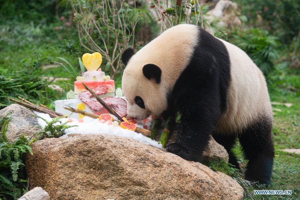 Giant panda Jianjian eats a birthday