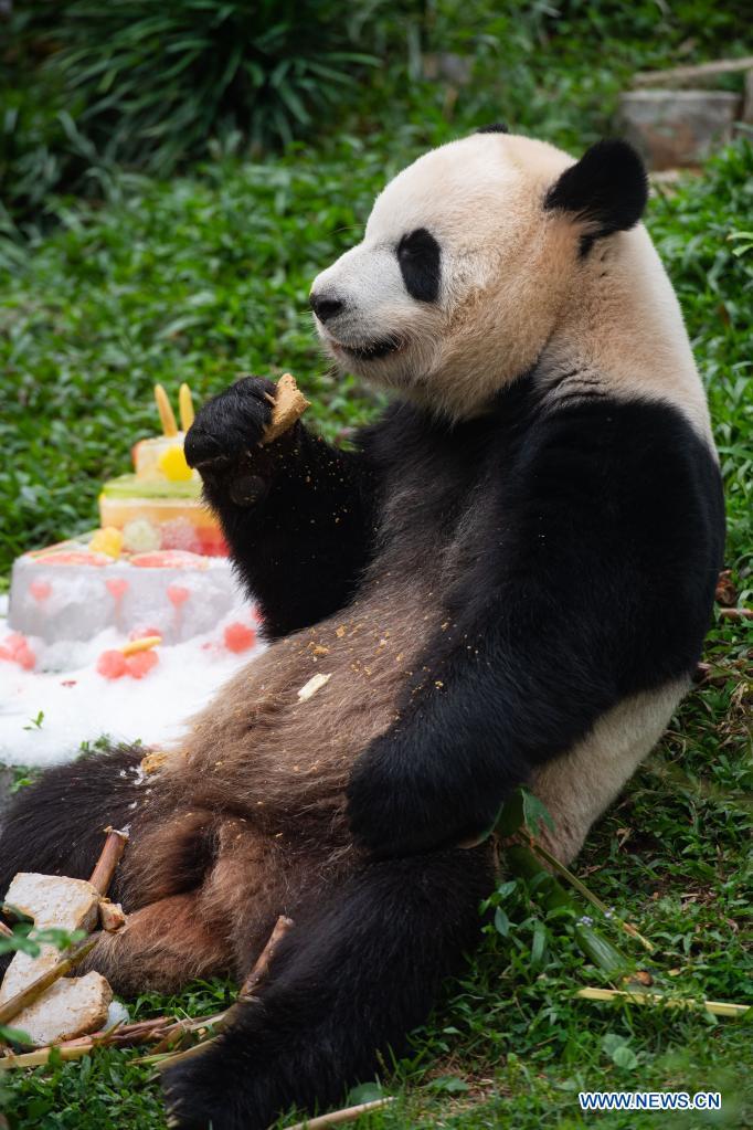 Giant panda Kangkang eats a birthday