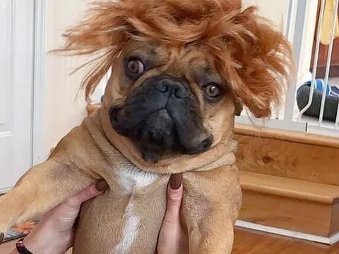 戴上假发的狗子,一本正经又无可奈何的样子,让人笑到飙泪
