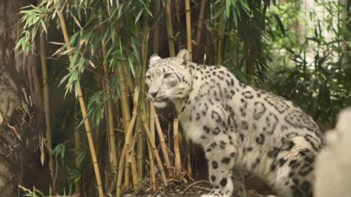 美国一动物园雪豹感染新冠