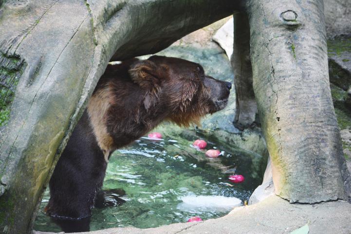 萌化了 炎炎夏日大象棕熊怎么降温 南宁动物园有妙招