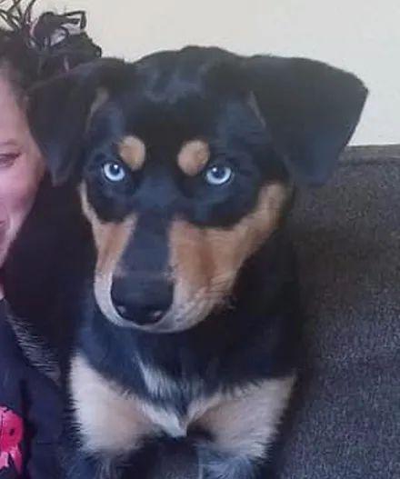 女子领养了只罗威纳和哈士奇的混血狗子,结果长大后成这样,网友笑疯了!