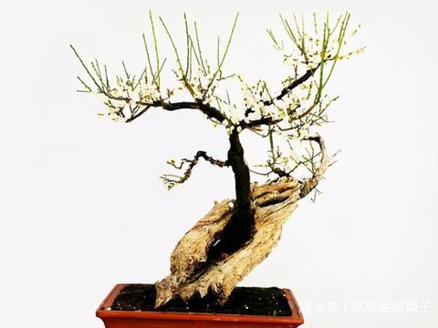 绿梅盆景的养殖方法和注意事项,根据生长习性,分成4个方面解析