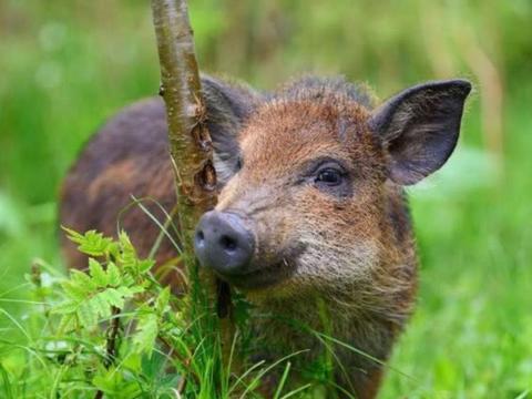 我国6省开放野猪捕猎期,明明是保护动物,为何要对它动真格?