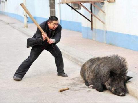 """陕西对20万头野猪""""动真格"""",这次手段够狠,野猪好日子到头了?"""