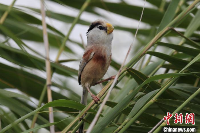 黑龙江首次发现震旦鸦雀巢穴 系中国20年首次发现