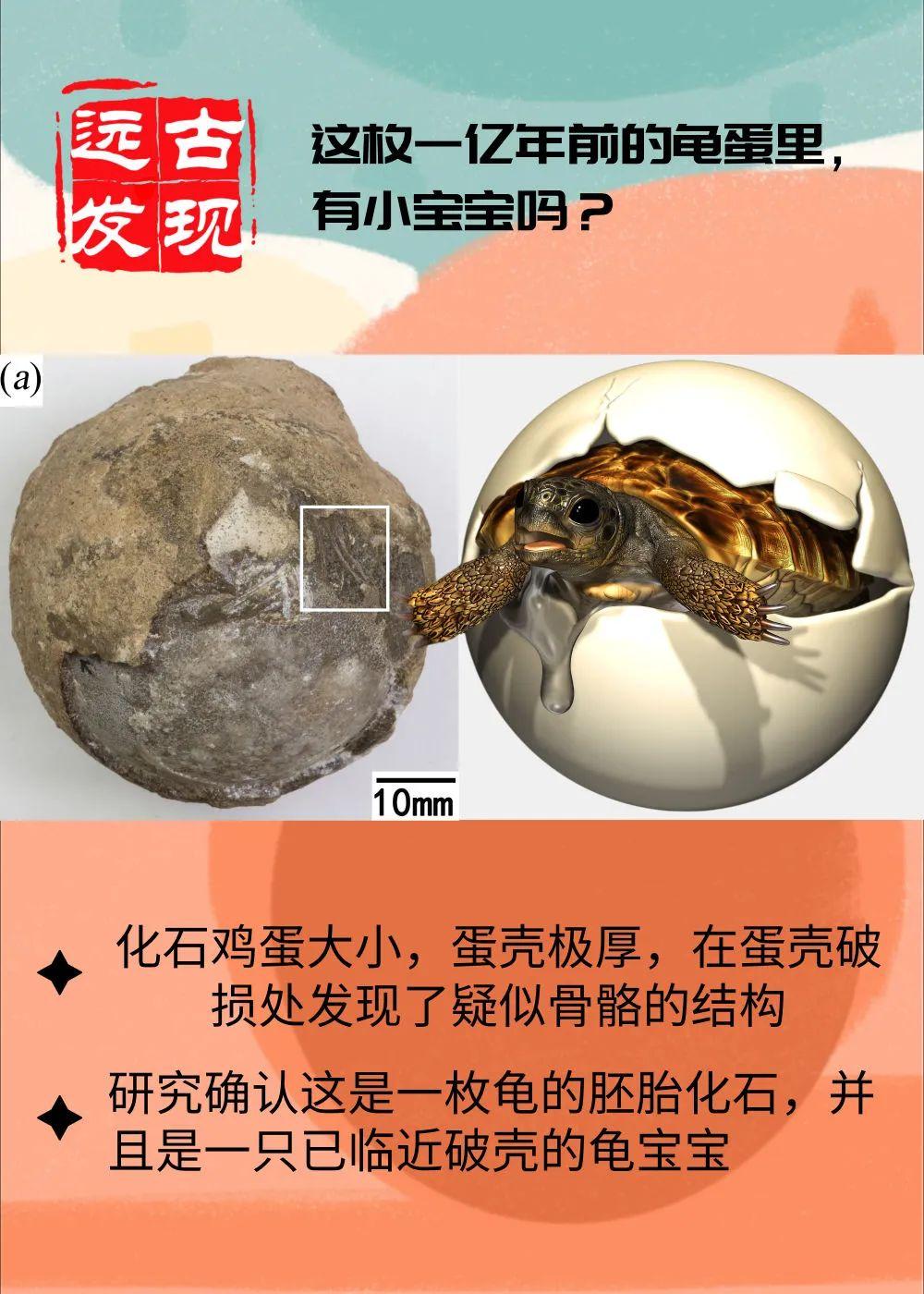 这枚1亿年前的龟蛋里,有小宝宝吗?地大团队发表研究成果