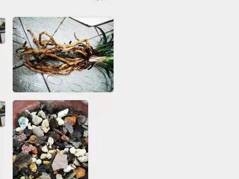 颗粒植料按时浇水,兰花为什么一年都不长新根?解决问题有3招