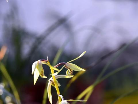 将近白露,兰花如果还没有花芽,就该用点小技巧了