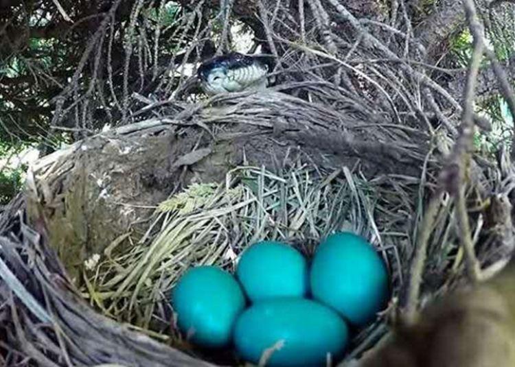 蛇等鸟妈妈离开鸟巢,悄悄潜入鸟窝,接下来这幕让人揪心!