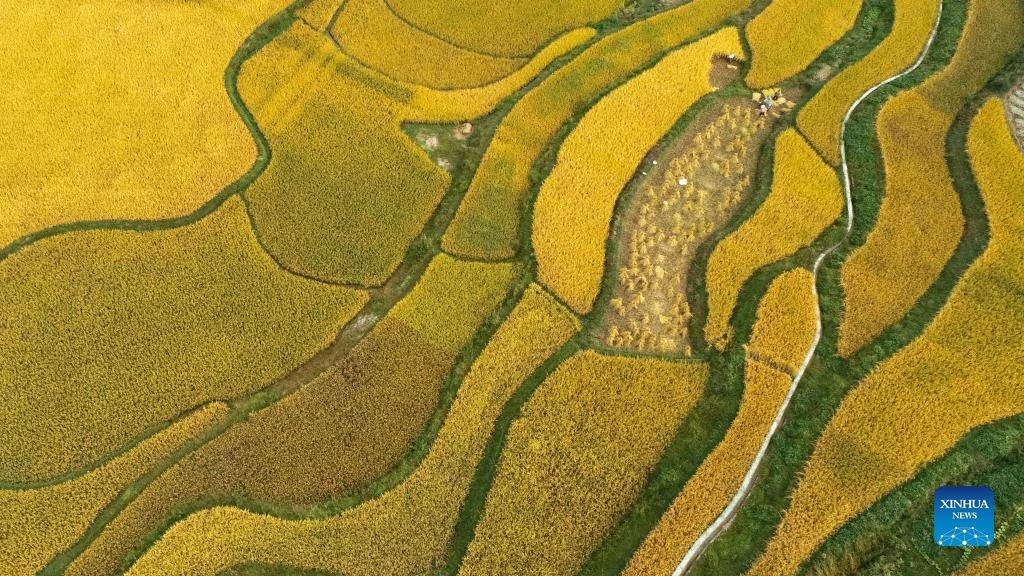 Aerial photo taken on Sept. 12, 2021 shows farmers harvesting paddy rice in Jinpi Village of Wantanhe Township in Longli County, southwest China's Guizhou Province. (Photo by Long Yi/Xinhua)