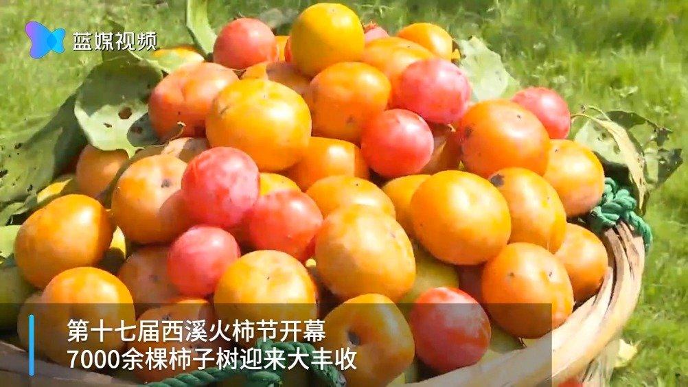 西溪3万斤柿子供市民游客采摘