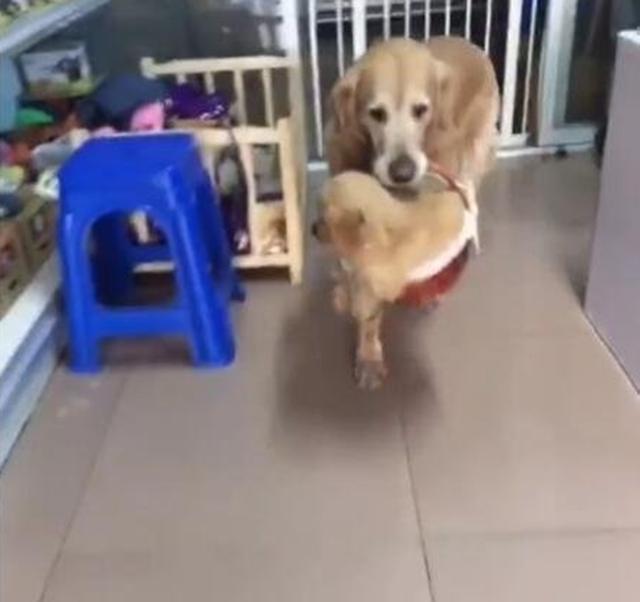 主人为金毛宝宝买了个篮子,金毛妈妈超级欢喜,叼着宝宝到处走!