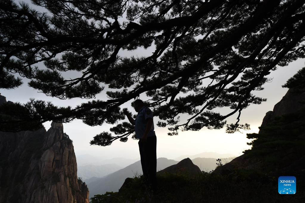 Hu Xiaochun takes a routine check to the Greeting Pine in the Huangshan Mountain scenic area in east China's Anhui Province, Sept. 25, 2021. Huangshan Mountain, one of the most famous scenic spots in China, is a UNESCO World Heritage site in east China's Anhui Province and a world geopark. Greeting Pine is a famous landmark in Huangshan Mountain. The tree, growing out of the rocks with a long branch extending over the mouth of a cave, got the name mainly because it appears to be greeting anyone who arrives at the scene. It is believed to be between 800 and 1,000 years old. To protect the tree, the local government has introduced a system of designating guardians or rangers for patrolling the tree around the clock. The first guardian was appointed in 1981. The tradition has been going on ever since. Hu Xiaochun is one of the guardians of the Greeting Pine. In 2010, Hu took over the post from his predecessor. He patrols around the Greeting Pine every two hours, observing subtle changes in branches, leaves and bark, as well as the supporting frames and cables. Hu records the tree growth data every day, and the temperature, humidity and wind speed. His
