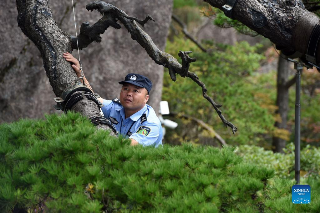 Hu Xiaochun checks the supporting poles of the Greeting Pine in the Huangshan Mountain scenic area in east China's Anhui Province, Sept. 26, 2021. Huangshan Mountain, one of the most famous scenic spots in China, is a UNESCO World Heritage site in east China's Anhui Province and a world geopark. Greeting Pine is a famous landmark in Huangshan Mountain. The tree, growing out of the rocks with a long branch extending over the mouth of a cave, got the name mainly because it appears to be greeting anyone who arrives at the scene. It is believed to be between 800 and 1,000 years old. To protect the tree, the local government has introduced a system of designating guardians or rangers for patrolling the tree around the clock. The first guardian was appointed in 1981. The tradition has been going on ever since. Hu Xiaochun is one of the guardians of the Greeting Pine. In 2010, Hu took over the post from his predecessor. He patrols around the Greeting Pine every two hours, observing subtle changes in branches, leaves and bark, as well as the supporting frames and cables. Hu records the tree growth data every day, and the temperature, humidity and wind speed. His