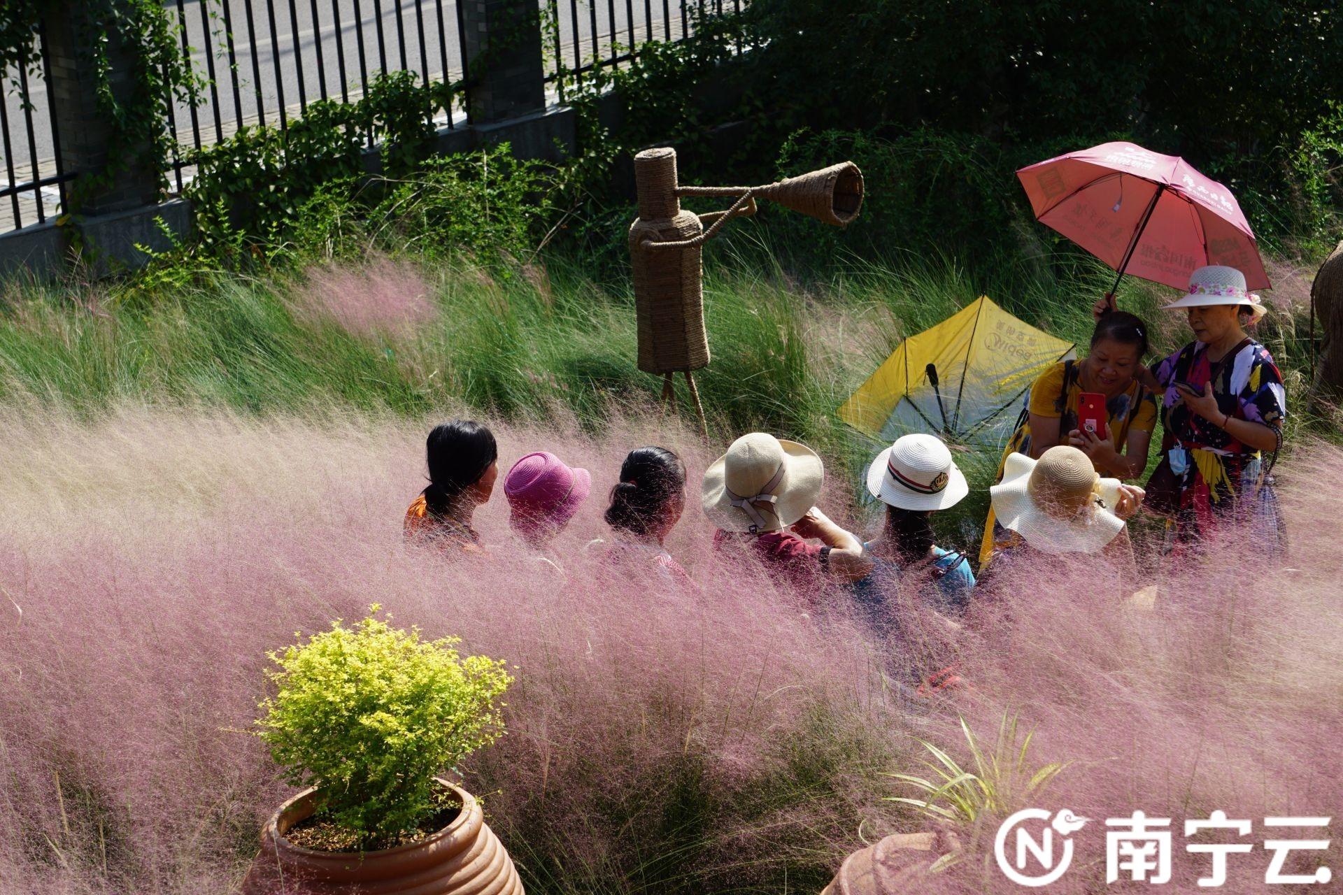 如梦如幻 南宁市人民公园粉黛乱子草进入最佳观赏期